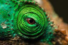 Chameleon Eye seen in Madagascar Photo by Gergely Lantai-Csont