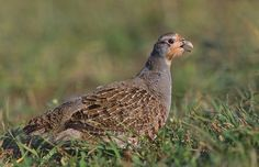 Grey English Partridge Endangered Species Threat Concern list Conservation Northumberland Norfolk Sustainable Shooting | Fur Feather Fin Country Sports Pursuits Lifestyle Goods Gifts Accessories Online Shop