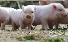 ¿Qué son los mini cerdos? – Características del mini cerdo http://www.mascotadomestica.com/articulos-sobre-mascotas/que-son-los-mini-cerdos-caracteristicas-del-mini-cerdo.html