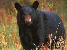 State Animal: Black Bear