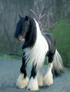 Gypsy Cobs or Traditional Cobs as they are called are a smaller draft horse breed.  They are originally from Ireland, England and Wales.  These horses are bred and used by the Gypsy people and they pull Vardos.  Google Search or look under my other board Gypsy Caravans and Vardos.  LLK  :)