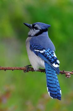 Blue Jay; Loved bird watching. He would lay whole peanuts out and Blue Jays would come and crack them right in front of you that was awesome to see.