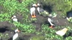 puffins, Bonavista, Newfoundland, via YouTube.
