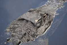 Feb. 17, 2008 - Clyde Butcher's Big Cypress Gallery is located in Ochopee, FL, 23 miles east of Everglade City on Highway 41. The alligator was under a bridge near the gallery parking lot.
