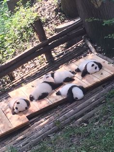 I'd love to get the chance to work with baby pandas once in my life.