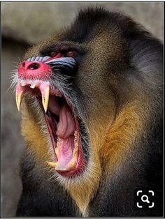 Ugly Animals, Unusual Animals, Animals And Pets, Cute Animals, Strange Animals, Beautiful Creatures, Animals Beautiful, Mandrill Monkey, Photo Animaliere