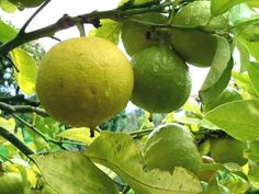 Bergamot perfume ingredient, Bergamot fragrance and essential oils Citrus bergamia