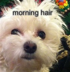 Lilie just woke up.  Maltese.