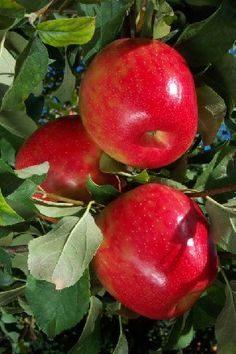 Honeycrisp -The fruit is mostly orange-red with a yellow background. The fruit averages three inches and up, and stores well. Outstanding winter hardiness. is moderately resistant to apple scab. Tree is non-vigorous and late-blooming. Pollination Information Honeycrisp™ blooms in mid-season and will pollinate all other early blooming apple varieties, varieties blooming in the middle of the season, and also varieties blooming late in the season.