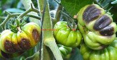 Cum se previne şi cum se combate mana roşiilor   Paradis Verde Tomato Plants, Permaculture, Diy And Crafts, Avocado, Solar, Home And Garden, Stuffed Peppers, Vegetables, Food
