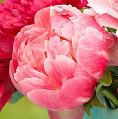 Peonies might bring to mind times gone by, but with a variety of forms and new colors, they're also the perfect way to update your garden.