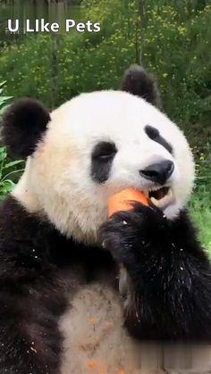 Cute Panda Baby, Baby Panda Bears, Panda Love, Baby Pandas, Baby Animals Pictures, Cute Animal Photos, Cute Animal Videos, Baby Panda Pictures, Cute Little Animals