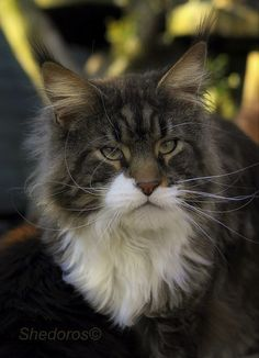Kody ©Dorothea Scibura Maine Coon Cattery Shedoros http://www.mainecoonguide.com/maine-coon-personality-traits/
