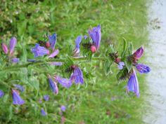Echium vulgare L. / Viborera común.