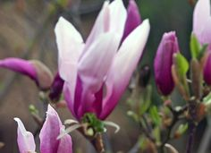 2009 - Magnolia in bloei
