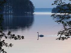 Laulujoutsen on vuoden lintu 2014, jolloin näin ensimmäisen kerran 5 joutsenen poikueen Taipalsaarella, Saimaalla.