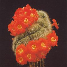 """Cactus: Rebutia senilisBook: """"The illustrated encyclopaedia of cacti"""" by Clive Innes  Charles Glass"""