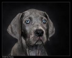 Great Dane Puppy by mplonsky on deviantART