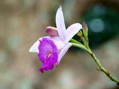 Arundina: bamboo orchid
