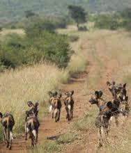 Afbeeldingsresultaat voor wild dogs laikipia