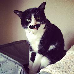体をなめよっかな?って思っているところ。 #cat #猫 #ネコ #ねこ #猫もふ団 #ねこ部 #ハチワレ #ハチワレ部 #ハチワレガール #貓 #貓咪 #고양이 #chat #gato #gatto #แมว #katze #catsofinstagram #catslover #Padgram Crazy Cat Lady, Crazy Cats, Cats Of Instagram, Instagram Posts, Kitty Cats, Tuxedo, Animais, Baby Cats, Kittens