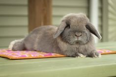Photo gallery of cute bunny pictures of Holland Lops from Hook's Hollands Ohio Holland Lops.