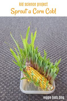 This sprouting activity is super fun because it is quick and the corn sprouts grow very tall, both of which will keep the attention of your kids! This is a great activity to do in the fall when dried decorative corn can be found in many stores. Regrow Vegetables, Growing Vegetables, Growing Plants, Growing Fruit Trees, Corn Plant, Autumn Activities For Kids, Veg Garden, Garden Soil, Garden Landscaping