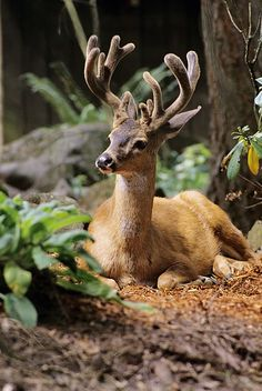 Beautiful Black-tailed Deer keeping an eye out!