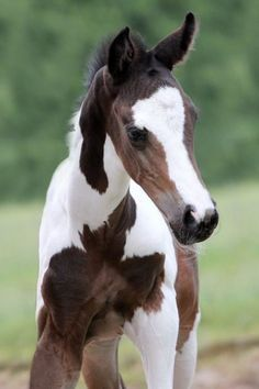 Pretty little brown and white Barock Pinto foal. Baby Horses, Cute Horses, Horse Love, Most Beautiful Horses, All The Pretty Horses, Beautiful Creatures, Animals Beautiful, Photo Trop Belle, Cheval Pie