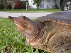 soft shelled turtle head – RechercheGoogle Ugly Animals, Unusual Animals, Ugliest Animals, Turtle Information, Bbc, Types Of Turtles, Water Deer, Alligator Snapping Turtle, Wild Life