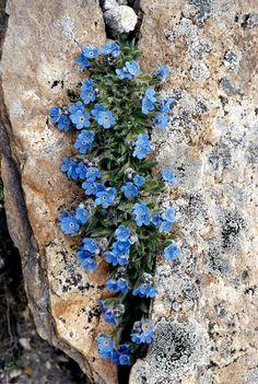 ERITRICHIUM NANUM (Eritrichio nano. Himmelsherold.Roi des Alpes.Triglavska neboglasnica). Boraginaceae