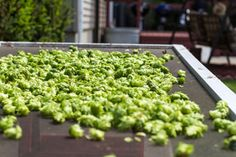 Growing Hops 101 - HOMEGROWN