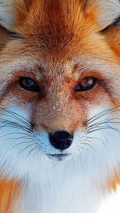fox_fur_furry_muzzle_eyes_56549_640x1136 | Flickr - Photo Sharing!