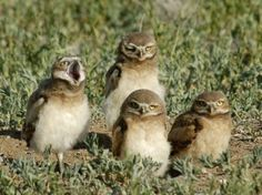 Burrowing owls at the Rocky Mountain National Wildlife Refuge in Colorado. (by Rocky Mountain Arsenal National Wildlife Refuge)