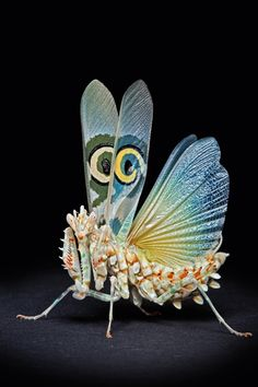 An adult African Spiny Flower Mantis shows the fake eye-spots on its wings in a threatening display in Igor's home studio in Munich, Germany.
