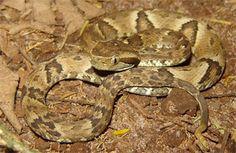 Brazilian viper