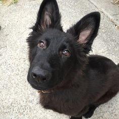 GSD Puppy-Bear