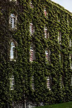 jonathancozzo:  Ivy wall in Cambridge