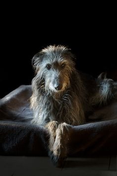 • Scottish Deerhounds - Site de manializa !