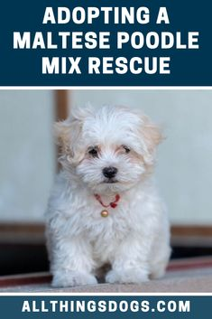 As a designer dog breed this breed is not recognised by any major kennel club. However if you're looking to adopt a Ma. Maltese Poodle Puppies, Red Poodle Puppy, Dogs And Puppies, Maltese Mix, Doggies, Miniature Dog Breeds, Designer Dogs Breeds, Puppy Facts, Maltipoo