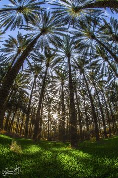 Forests of palm tree.