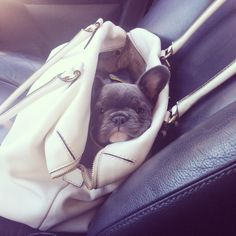 Our newest accessory // Mr Bingley // blue french bulldog puppy