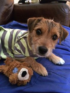 Jack - my Jack Russell cross puppy, am about to make him a coat from a onesie but had to try it in as is first!