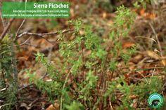 ¿Cual es esta planta que crece en Sierra Picachos?