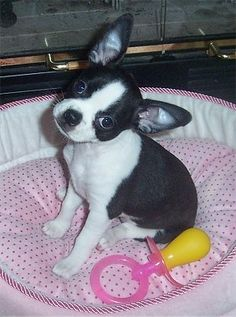 Boston chihuahua mix puppies on Pinterest | Boston Terriers, Boston ...