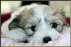 All tuckered out. Big Dogs, Small Dogs, Cute Dogs, Little Puppies, Dogs And Puppies, New Puppy, Puppy Love, Coton De Tulear Puppy, Baboon