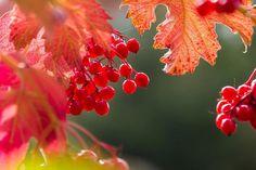 Калина обыкновенная осенью