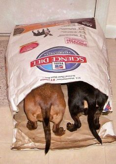 Oh my goodness - typical of the daring little dachshunds. Remember they were bred as badger hunters. They were sent into the badger's sett and on reaching the badger would bark (they bark VERY loudly) and the farmer would dig down and capture the badger. They seem to have a natural instinct to burrow even if it is just a paper bag. LOL! ;) Mo