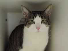 TINKERBELL - A1108848 - - Manhattan  ***TO BE DESTROYED 04/21/17*** GENTLE AND AFFECTIONATE TINKERBELL NEEDS YOU TONIGHT! A volunteer writes: Tinkerbell usually sprinkles fairy dust, but our Tinkerbell sprinkles love! Tinkerbell is a beautiful, brown and white tabby. She has the cutest pink nose! Tinkerbell is a little shy at first. Talking to her softly, can bring her around. Tinkerbell will show you where she wants to be stroked. She absolutely loves being stroked by her