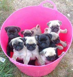A bucket full of Puglets!! Joy!